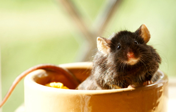 mouse-in-a-bowl